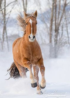 A mustang named Kicker runs up in the snow at a ranch in northern Wyoming www.LivingImagesCJW.com