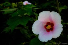 """Hibiscus mutabilis flower. Also known as """"Cotton rosemallow"""" from the Malvaceae family, it is native to Southern China.     Traditionally, the leaves and flowers are used to treat swellings and skin infections. Mucilage (a thick, gluey substance produced by nearly all plants) extracted from the leaves and flowers are used to ease childbirth.    Copyright DonaldChen Photography"""