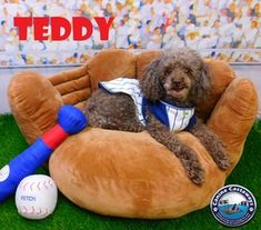 Teddy - Poodle (Miniature) (long coat) Dog For Adoption