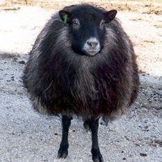 Alpacas, Farm Animals, Cute Animals, Wooly Bully, Baa Baa Black Sheep, Sheep Breeds, Animal Science, Sheep And Lamb, Counting Sheep