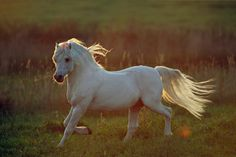 Welsh A Pony Hengst, Welsh Pony Sektion A, Hengst, Schimmel