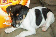 Miniature Rat Terriers - Dogs -  Luke - looks like Hollie as a puppy