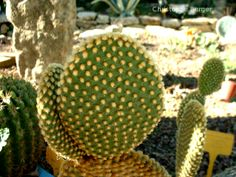 Opuntia microdasys var. pallida