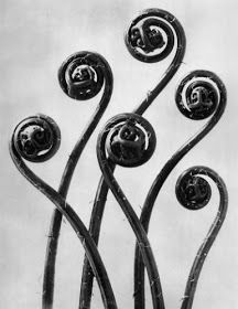 View Art forms in nature by Karl Blossfeldt on artnet. Browse upcoming and past auction lots by Karl Blossfeldt. Karl Blossfeldt, Bio Design, How To Make Camera, Impressions Botaniques, Natural Form Art, Elements And Principles, Seed Pods, Organic Shapes, Organic Form