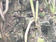 Bird Photos, Birding Sites, Bird Information: BROWN NODDY ON ROCKS & IN FLIGHT, BATTEAUX BAY, SP...