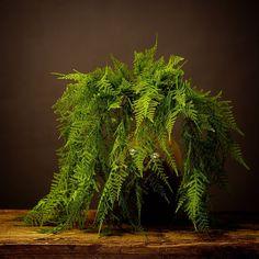 cdn.shopify.com s files 1 0993 6172 products abigail-ahern-asparagus-fern-abigail-ahern-2.jpg?v=1496931371