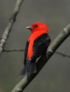 Scarlet Tanger.  They are somewhat elusive, but once you are able to recognize their songs, WOW, what a delight, even if they stay hidden in the underbrush.  A joy for Maryland bird watchers!