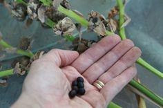 canna-seeds