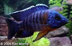 Aulonocara hansbaenschi, Red Shoulder: Adult male