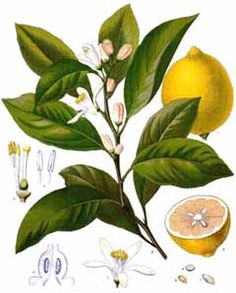 lemon tree drawing  The Lemon (Citrus x. Lim...