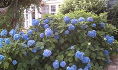 Blue Big Leaf Hydrangeas along a Harwichport Road