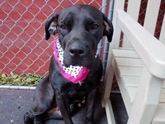 SAFE --- Manhattan Center   MAXINE - A1019583   FEMALE, BLACK / WHITE, CANE CORSO MIX, 7 yrs STRAY - STRAY WAIT, NO HOLD Reason STRAY  Intake condition EXAM REQ Intake Date 11/03/2014, From NY 10454, DueOut Date 11/06/2014,  https://www.facebook.com/photo.php?fbid=899778226701724