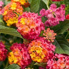 Lantana — Green Acres Nursery & Supply Flowers Perennials, Plants, Insect Repellent Plants, Lantana, Beautiful Flowers, Showy Flowers, Landscaping Trees, Flowers, Lantana Plant