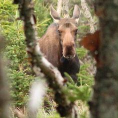 Cow Moose at the Cape Breton Highlands National Park, Cape Breton Island, Nova Scotia, Canada
