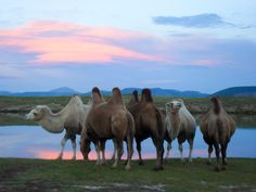 #PotentialistCanada - Trip Purpose 1: Improve my photography skills - Camels drinking from a lake in Mongolia