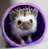 Baby hedgehog- another thing I want!