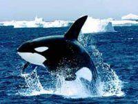 Kosatka dravá, Orcinus orca, Killer whale