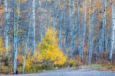 This little guy is quite hardy. One of the last trees to keep it's leaves. Oh how it is to be young again.  #paulscoloradophotography #colorado #coloradotography #coloradoinstagram #coloradogram #coloradolove #colorfulcolorado #coloradical #coloradophotography #viewcolorado #coloradoliving #visitcolorado #telluride #seasons #trees #forest #autumn #fall #nature #westslopebestslope #beautiful #scenery #fineart #Rockies #rockymountains #peace #peace_and_tranquility