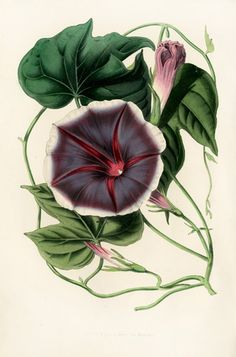 Morning Glory | Louis van Houtte Flore des Serres Single-sized Prints 1858
