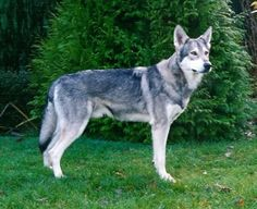 Another dog that would be a great addition to a family Beautiful Wolves, Beautiful Dogs, Wolf Dog Breeds, Wolf Dogs, Big Dogs, Dogs And Puppies, Wolfdog Hybrid, Rare Dogs, German Shepherd Puppies