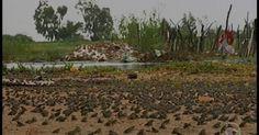 Após chuvas no Sertão, infestação de pequenos sapos assusta moradores