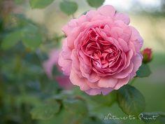 Rosenbild mit rosa Rosenblüte im Garten. Leinwandbild oder Kunstdruck.