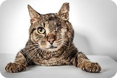 New York, NY - Domestic Shorthair. Meet Tom, a cat for adoption. http://www.adoptapet.com/pet/17320604-new-york-new-york-cat