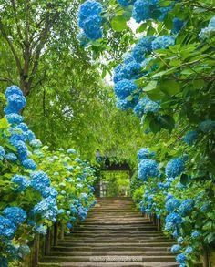 北鎌倉 明月院 Kamakura, Meigeitsu-in. Beautiful Nature Wallpaper, Beautiful Landscapes, Beautiful Gardens, Beautiful Flowers, Wonderful Places, Beautiful Places, Hydrangea Garden, Hydrangeas, Fantasy Places