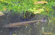 Triploid grass carp have been eating wetland plants in a lake since May and now the author and her family can swim in the pond. Fishing Bait, Bass Fishing, Grass Carp, Florida Fish, Twin Lakes, Clear Lake, Wildlife Conservation, Exotic Fish, Natural Solutions