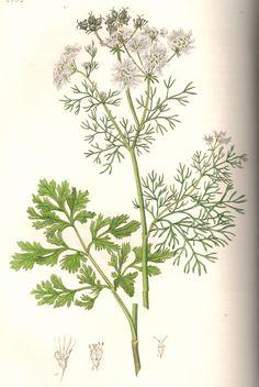 "Coriander (Cilantro). From Ed Smith's personal library: Stephenson & Churchill, ""Medical Botany"": 1834-1836."