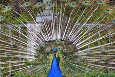 Peacock, Tail, Directly, Eye, Pen Peacock Images, Peacock Photos, Peacock Tail, High Quality Images, Find Image, Eye