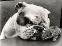 bulldogs | Bulldogs and Squirrels, Love or Hate?