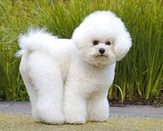 Just Dogs | Bichon Frise.