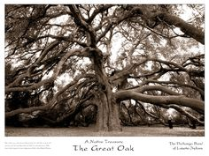 The Great Oak is the largest natural-growing, indigenous coast live oak (Quercus agrifolia ) wi'aashal tree in the United States and is estimated to be anywhere from 850 to 1,500 years old, making it one of the oldest oak trees in the world. The tree has been used by countless generations as a gathering place. The Great Oak area, Wi'aasha, is home to numerous culturally sensitive, historical and archaeological sites, including tribal interment sites from time immemorial.