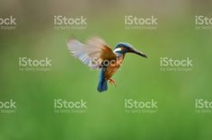 Hovering of the kingfisher royalty-free stock photo