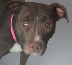 *LEXIS - ID#A711246  Shelter staff named me LEXIS.  I am a spayed female, chocolate and white Pit Bull Terrier mix.  The shelter staff think I am about 2 years and 8 months old.  I have been at the shelter since Apr 20, 2013.