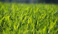 GM wheat no more pest-resistant than ordinary crops, trial shows