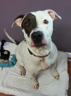 ~~eu date 07/020/14!!~Jackson ~**Urgent!!** Breed: Pit Bull Terrier  Age: Adult Gender: Male  Size: Large, Altered, HasShots, NoDogs, Shelter Information: Columbia...