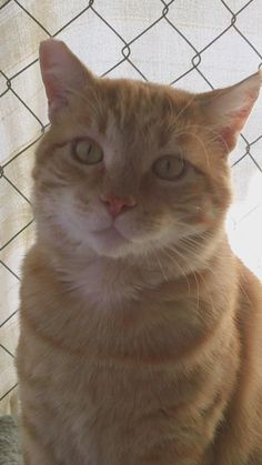 12/29 2015 Sunny - Domestic Short Hair - orange and white & Tabby - Orange Mix • Adult • Male • Extra Large Help For The Homeless Pets San Diego, CA I am a very large cat weighing in at 19 lbs. I love dogs, in fact at my foster home I am the only cat and there are a bunch of dogs. My life has not always been this good. I had a home when I was a kitten and then my family moved away and left me behind. I became a feral cat that ran around the neighborhood...