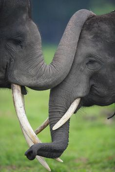 Asian Elephant Elephas Maximus Pair by Cyril Ruoso/ Minden Pictures Asian Elephant, Elephant Love, Funny Elephant, Elephant Trunk, Animals And Pets, Baby Animals, Cute Animals, Wild Animals, Beautiful Creatures
