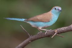 Blue Waxbill (Uraeginthus angolensis) is a delightful visitor to gardens in the drier parts of the country.   Its preferred habitat is the woodland savannah regions.  This seed-eater hangs about n small flocks.   Photograph by Warwick Tarboton
