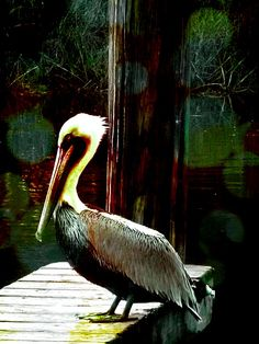 Brown Pelican, Mississippi Bay