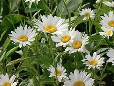 Sun-loving Perennial: Shasta Daisy. Its large, cheery flowers and troublefree foliage make Shasta daisy a natural addition to a sunny garden. This clump-forming, perennial blooms from early summer to fall on 2-1/2-foot-tall stems.  Tolerates a wide range of soils; provide consistent moisture. USDA Hardiness Zones: 4 to 9. -Ali C.