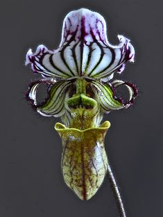 Paphiopedilum fairreanum More