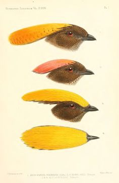 Contributions to the ornithology of the Papuan Islands - BioStor