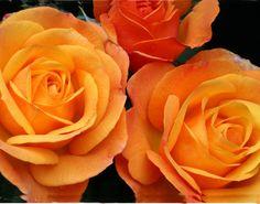 Portland's Best Rose 2014