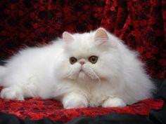 Gato Persa Branco Adulto