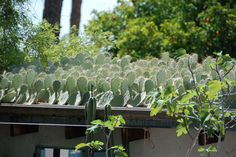 "Prickly pear cactus roof; the cacti are planted in planted in 3"" of native granite soil"