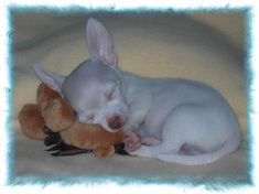 Chihuahua newborn puppies little   More Chihuahuas