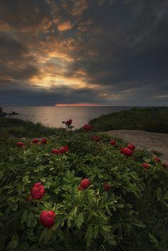 Peonies & sunset